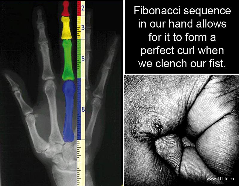 Fibonacci Sequence In Animals Fibonacci sequence in our hand